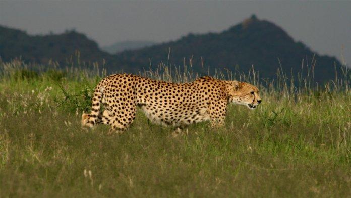 Luxury_OlJogi-Cheetah